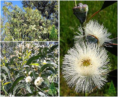 Eucalyptus globulus flower buds bloom Tasmanian Blue Gum Eucalipto blanco flores Galicia GIT Forestry Consulting Spain España