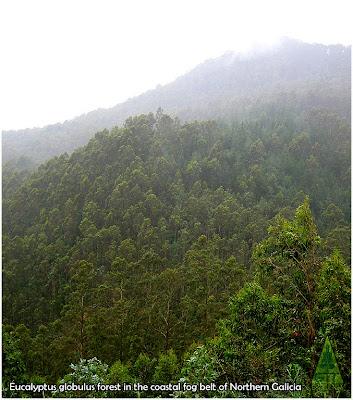 Coastal Eucalyptus globulus forest in Northern Galicia, Spain / Bosque costero de eucalipto blanco en la Costa Cantábrica de Galicia, España / GIT Forestry Consulting, Lugo, Spain