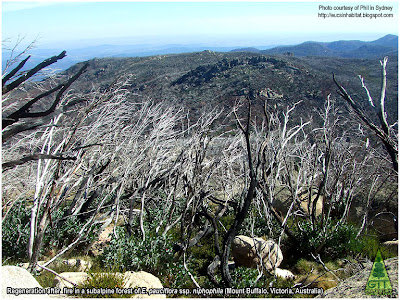 Regrowth from coppice after fire in Eucalyptus pauciflora at Mt Buffalo, Victoria, Australia. Photo courtesy Phil in Sydney. Rebrote de cepa en Eucalipto pauciflora en Mt Buffalo, Victoria, Australia. GIT Forestry Consulting Consultoría y Servicios de Ingeniería Agroforestal. Galicia, Spain.