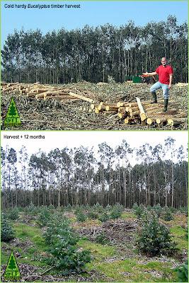 Eucalyptus nitens early growth post harvest in Galicia, Northwestern Spain / Crecimiento temprano tras cosecha en plantación de Eucalipto nitens, Galicia, España / GIT Forestry Consulting. Consultoría y Servicios de Ingeniería Agroforestal