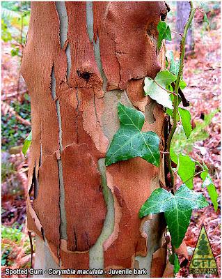 Corymbia maculata juvenile bark / Eucalyptus maculata juvenile bark / Spotted gum bark / Eucalipto de Corteza de Arce, corteza juvenil / GIT Forestry Consulting, Galicia, Spain, España