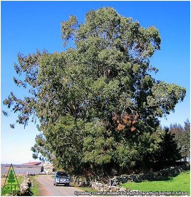 Eucalyptus macarthurii specimen tree in Northwestern Spain /Camden Woollybutt flowers / Eucalipto lanudo de Camden en Galicia / Eucalipto de MacArthur florece en Galicia / GIT Forestry Consulting, Consultoría y Servicios de Ingeniería Agroforestal