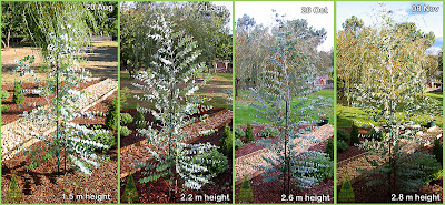 Early growth in Eucalyptus gunnii / Cider Gum / Cold Hardy Ornamental Eucalyptus for gardens in temperate climates / Crecimiento temprano, poda y talla de eucalipto gunnii / Eucalipto de la sidra / Eucalipto ornamental resistente a la helada para jardinería en climas templados / GIT Forestry Consulting, Consultoria y Servicios de Ingenieria Agroforestal, Galicia, España, Spain / Eucalyptologics, Information Resources on Eucalyptus Cultivation Worldwide