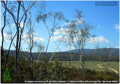 Weeping Snow Gum Eucalyptus lacrimans in habitat in the New South Wales tablelands / Weeping Snow Gum / Eucalyptus pauciflora pendula (invalid name) / Eucalipto de Hoja de Lágrima en su hábitat australiano en las mesetas de Nueva Gales del Sur / Eucalipto de porte llorón / Gustavo Iglesias Trabado / GIT Forestry Consulting, Consultoría y Servicios de Ingeniería Agroforestal, Lugo, Galicia, España, Spain / Eucalyptologics: Information Resources on Eucalyptus Cultivation Worldwide / Eucaliptologics: Recursos de Informacion sobre el Cultivo del Eucalipto en el Mundo