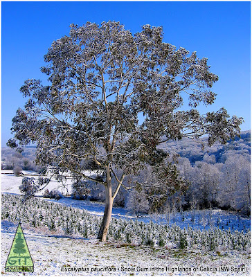 Eucalyptus pauciflora flowers bloom in the Highlands of Galicia, Spain / Snow Gum / Flores de Eucalipto de las Nieves en Galicia, España / Gustavo Iglesias Trabado / GIT Forestry Consulting, Consultoría y Servicios de Ingeniería Agroforestal, Lugo, Galicia, España, Spain / Eucalyptologics: Information Resources on Eucalyptus Cultivation Worldwide / Eucaliptologics: Recursos de Informacion sobre el Cultivo del Eucalipto en el Mundo