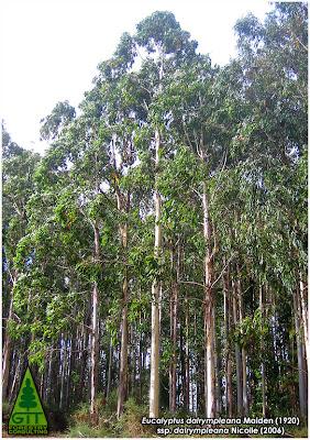 Cold hardy Eucalyptus dalrympleana in Galicia / Mountain White Gum / Eucalipto Blanco de Montaña (E. dalrympleana) en Galicia / GIT Forestry Consulting, Consultoría y Servicios de Ingeniería Agroforestal, España, Spain