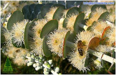 Honey bee foraging a blooming ornamental Eucalyptus in Galicia, Spain/ Abeja pastando eucalipto en flor en Galicia, España / GIT Forestry Consulting, Consultoría y Servicios de Ingeniería Agroforestal