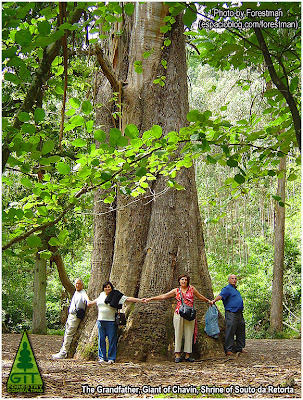 Giant Eucalyptus globulus ssp globulus in the Northern coast of Galicia, Spain / Ejemplar gigante de Eucalipto blanco en la costa norte de Galicia, España / Gustavo Iglesias Trabado / GIT Forestry Consulting - Consultoría y Servicios de Ingeniería Agroforestal, Lugo, Galicia, España, Spain / Eucalyptologics - Information Resources on Eucalyptus Cultivation Around the World