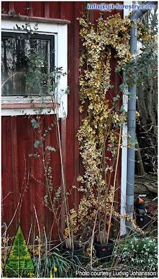 Overgrown potted cold hardy Eucalyptus gunnii ready to be coppiced / Overgrown potted cold hardy Cider Gum / Eucalipto de la Sidra cultivado excesivamente en maceta y listo para recepe / GIT Forestry Consulting, Consultoría y Servicios de Ingeniería Agroforestal, Galicia, España, Spain / Eucalyptologics, information resources on Eucalyptus cultivation around the world / Eucalyptologics, recursos de informacion sobre el cultivo del eucalipto en el mundo