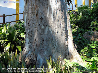 Toxic Eucalyptus poison soil is a myth: allelopathy exploited by environmentalist campaigns to promote analphabetism  / Gustavo Iglesias Trabado, Roberto Carballeira Tenreiro, Javier Folgueira Lozano / GIT Forestry Consulting SL, Consultoría y Servicios de Ingeniería Agroforestal, Lugo, Galicia, España, Spain / Eucalyptologics: Information Resources on Eucalyptus Cultivation Worldwide / Eucaliptologics: Recursos de Informacion sobre el Cultivo del Eucalipto en el Mundo