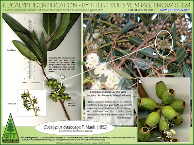 Eucalyptus species identification by botanical comparison of flower buds and fruits / Identificacion botanica de especies de eucalipto por comparacion de flores y frutos / Eucalyptus cladocalyx, Sugar Gum / Gustavo Iglesias Trabado / GIT Forestry Consulting, Consultoría y Servicios de Ingeniería Agroforestal, Galicia, España, Spain / Eucalyptologics, information resources on Eucalyptus cultivation around the world / Eucalyptologics, recursos de informacion sobre el cultivo del eucalipto en el mundo