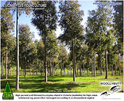 Plantation Eucalypts for High Value Timber 2007 Conference, a Woollybutt Initiative / Conferencia Plantaciones de Eucalipto para Madera de Alto Valor 2007, una iniciativa de Woollybutt / Jon Lambert / Gustavo Iglesias Trabado & Roberto Carballeira Tenreiro & Javier Folgueira Lozano / GIT Forestry Consulting, Consultoría y Servicios de Ingeniería Agroforestal, Galicia, España, Spain / Eucalyptologics, information resources on Eucalyptus cultivation around the world / Eucalyptologics, recursos de informacion sobre el cultivo del eucalipto en el mundo