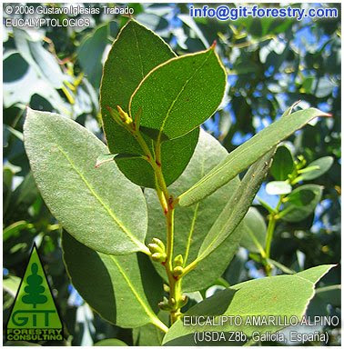 Eucalyptus subcrenulata intermediate glossy green foliage and sessile early flower buds / Alpine Yellow Gum in Galicia / Eucalipto Amarillo Alpino en Galicia / Gustavo Iglesias Trabado / GIT Forestry Consulting, Consultor�a y Servicios de Ingenier�a Agroforestal, Galicia, Espa�a, Spain / Eucalyptologics, information resources on Eucalyptus cultivation around the world / Eucalyptologics, recursos de informacion sobre el cultivo del eucalipto en el mundo
