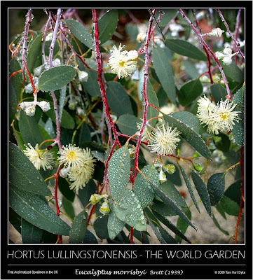Eucalyptus morrisbyi in bloom for the first time in the UK / El eucalipto de Morrisby florece por primera vez en el Reino Unido /Lullingstone Castle & The World Garden of Plants, by Tom Hart Dyke / Castillo de Lullingstone y El Jardín del Mundo, por Tom Hart Dyke / GIT Forestry Consulting, Consultoría y Servicios de Ingeniería Agroforestal, Lugo, Galicia, España, Spain / Eucalyptologics, information resources on Eucalyptus cultivation around the world / Eucalyptologics, recursos de informacion sobre el cultivo del eucalipto en el mundo