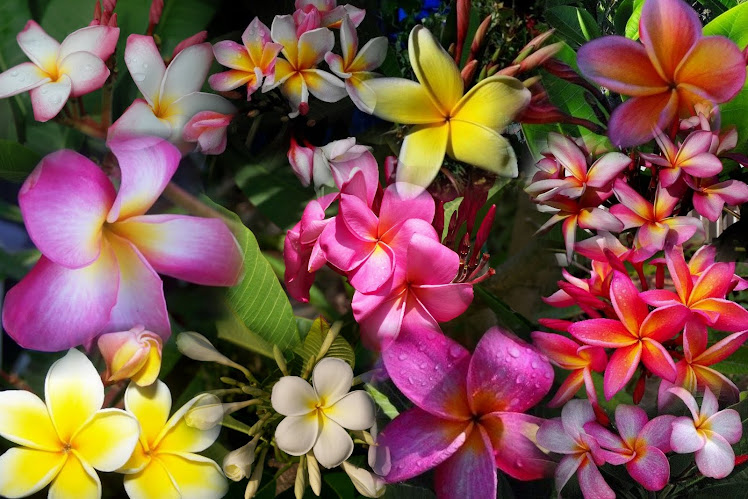 "Plumeria Plants – Part I – Terms And Definitions For Plumerias & Other Tropical Plants – ""A"" Through ""I"""