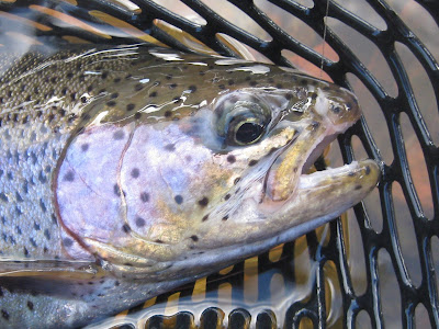 MYSIS SHRIMP - Fly fishing Guides, Gunnison, Taylor and East