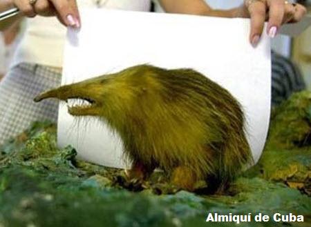Almiquí de Cuba ( Solenodon cubanus )