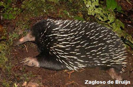 Zagloso de Bruijn ( Zaglossus bruijni )