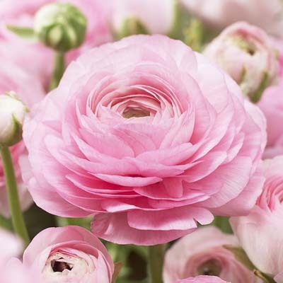 [rosa+ranunkel.jpeg]