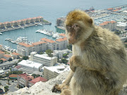 A very curious Ape in Gibraltar