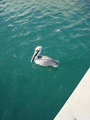 The Social Pelican