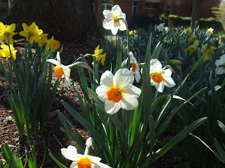 Daffodils, Woodberry Forest School