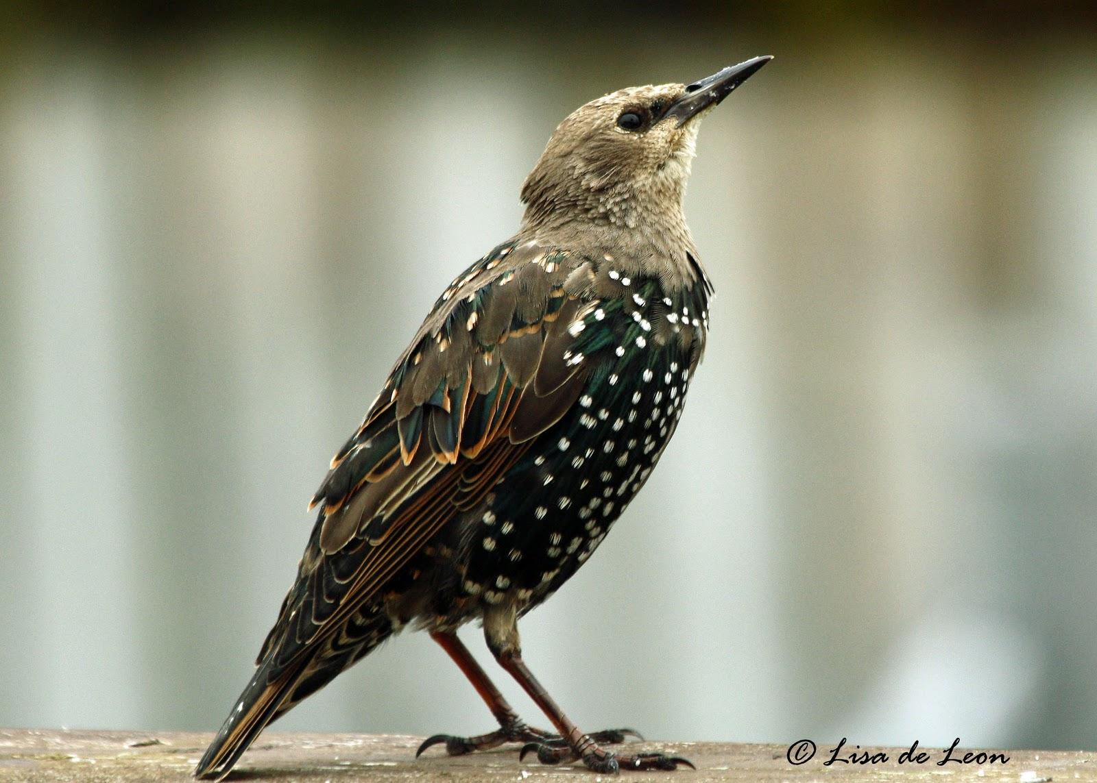 Birding with Lisa de Leon: European Starling
