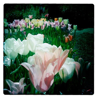 tulips Elizabeth Gamble Garden iphoneography hipstamatic