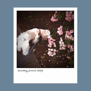 iPhone polaroid, havanese smelling flowers
