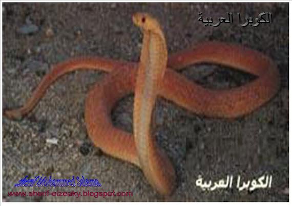 الكوبرا العربية