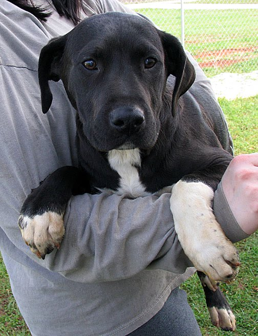 Black Great Dane Lab Mix Puppies Images & Pictures - Becuo