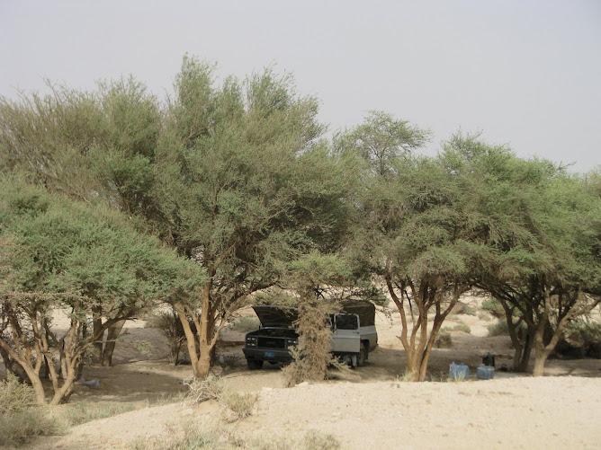 غابات في القصيم . المملكة العربية السعودية