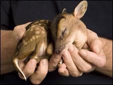A Baby Muntjac Deer