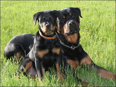 Rottweilers Dogs Puppies