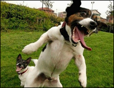 When Jack Russels Attack