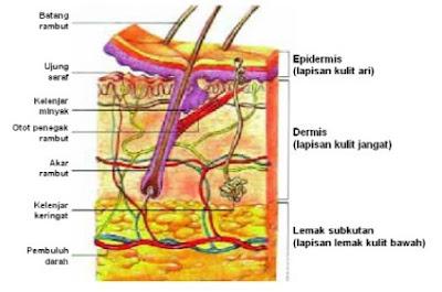 sistem integumen adalah sistem organ yang membedakan memisahkan