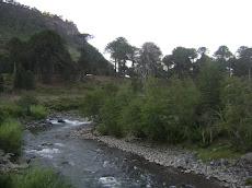 Bosques de Araucarias