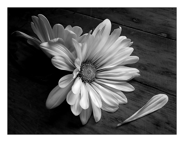 Daisy Petals Falling | www.imgkid.com - The Image Kid Has It! Petals Falling From A Flower