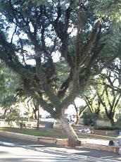 Árvore Torta