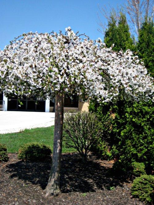 Dwarf Umbrella Tree Care  Growing Schefflera Arboricola
