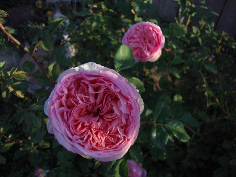roses color and light i love abraham darby. Black Bedroom Furniture Sets. Home Design Ideas