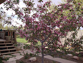 Brandywine Crabapple Tree ~ Alive With Blossoms
