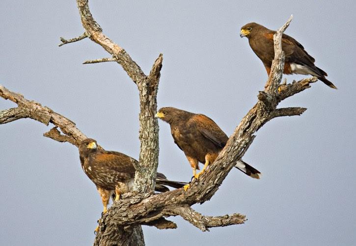 Group Of Hawks 70