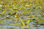 Nuferi galbeni - Delta Dunarii