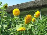 Mutatie genetica de Floarea Soarelui (Balaur, popular)