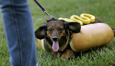 100 Wiener Dogs 1 Winner Dachshunds  pete At Los Alamitos Race Course further Dog 679390 County Orange furthermore Rescue Dachshund Lady Bug Races Wiener Nationals further Wiener Races further 5813655 Elora Racetrack To Host Inaugural Dog Race Where Everyone S A Wiener. on weiner dog races los alamitos