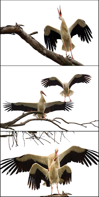 wildlife photography | Storks - wild animal photo | a series of 3 pictures of a mating ceremony