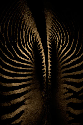 wildlife photography | photo of a zebra from behind | an unusual perspective of the animal