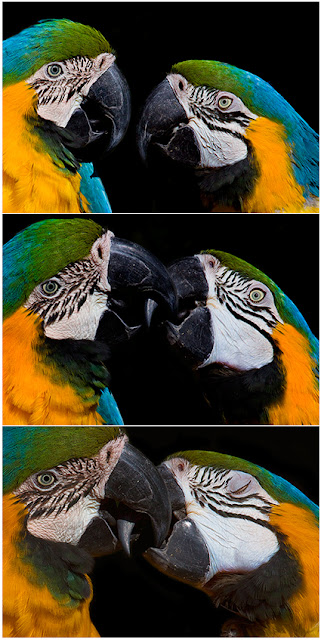 wildlife photography | 3 pictures of a kissing moment of a couple of parrots | wild animal love captured in photos