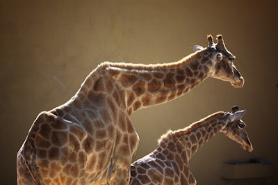 wildlifephoto animalpictures - Mother and Daughter - Giraffe